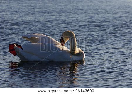 Beutiful Swan Is Cleaning His Feathers While Swimming In The Lake