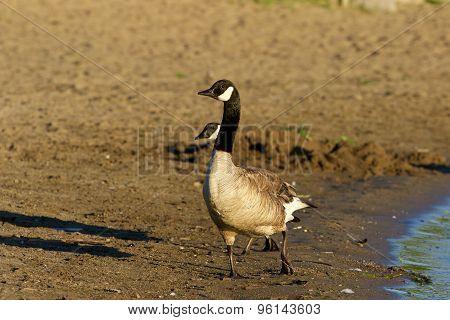 Beautiful Canada Goose On The Beach