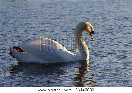 Beautiful Mute Swan Is Swimming In The Lake
