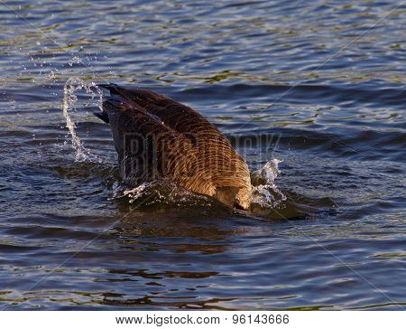 Expressive Diving In The Lake From The Canada Goose