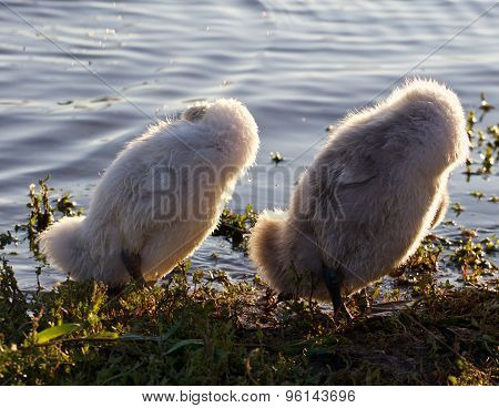 Funny Chicks Of The Mute Swans Are Synchronously Cleaning Their Feathers