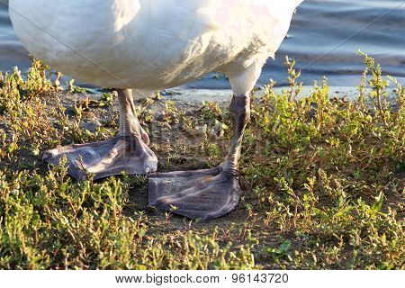 The Strong Feet Of The Mute Swan