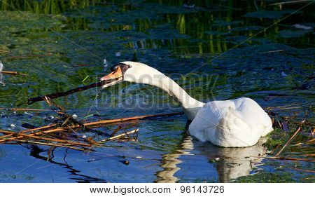 The  Strong Mute Swan Is Moving Sticks And Algae