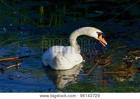 The Strong Beautiful Swan Is Cleaning The Lake