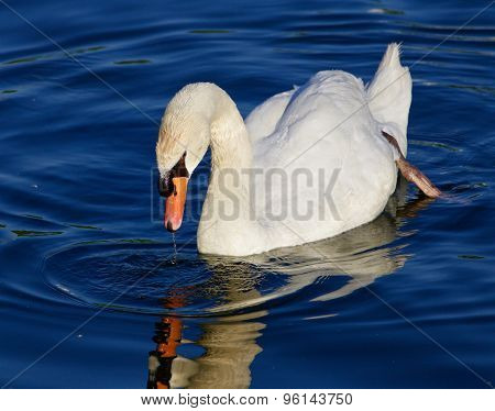 Beautiful Close-up Of The Mute Swan Looking To The Mirror Of The Water