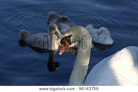 Beautiful Family Of The Swans Before The Sunset