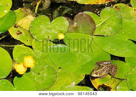 Frog on water lilies in a pond