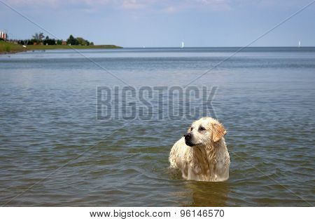 Playful Labrador retriever wading in ocean