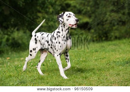 black dalmatian dog outdoors in summer