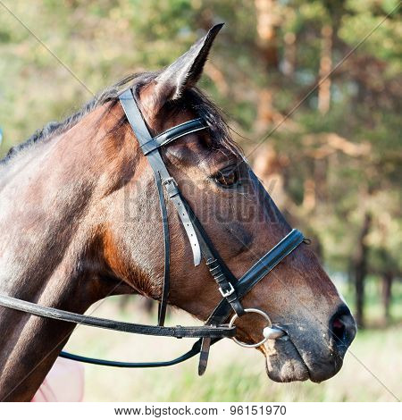 Muzzle Of Brown Horse