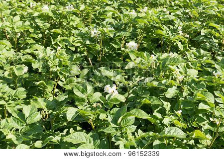 Potato Plants Flowering.