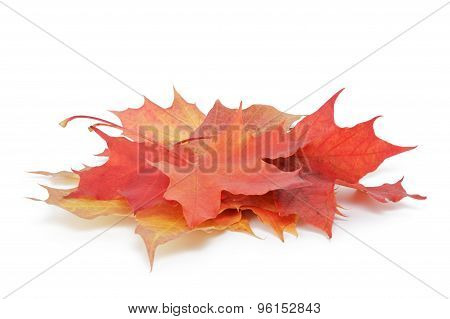 heap of colorful maple autumn leaves on white