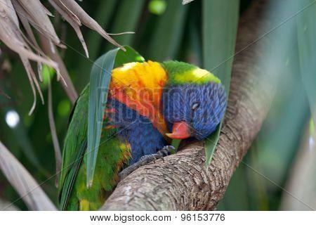 Sleeping Rainbow Lorikeet under a leaf - Stock image
