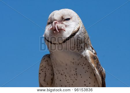 Owl eating a mouse