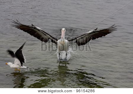 Landing pelican - Stock image
