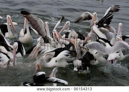 Feeding the wild pelican