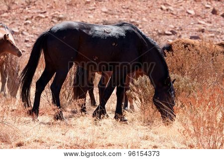 Wild horse in the australian outback