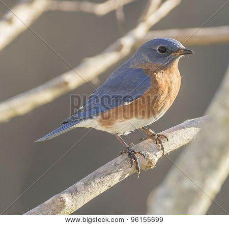 Eastern Bluebird on Branch