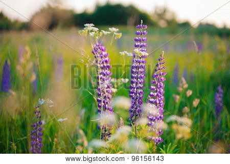 Large-leaved Lupine (lupinus Polyphyllus)