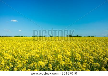 Yellow Colza Field