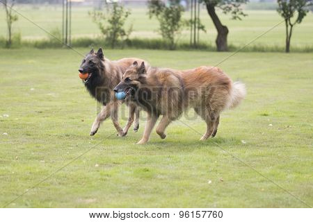Two Dogs, Belgian Shepherd Tervuren, Playing With Balls