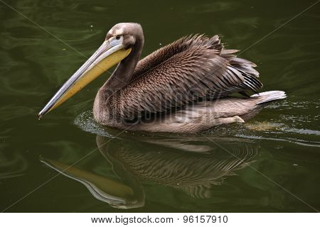 Grey pelican (Pelecanus philippensis), also known as the spot-billed pelican. Wildlife animal.