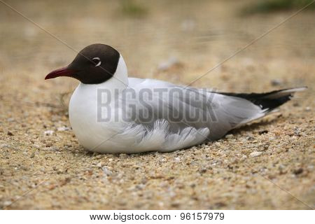 Black-headed gull (Chroicocephalus ridibundus). Wild life animal.