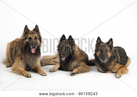 Three Dogs, Belgian Shepherd Tervuren, Lying Isolated On White Studio Background