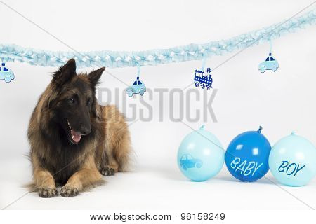 Dog, Belgian Shepherd Tervuren, Laying With Blue Newborn Baby Boy Balloons And Garlands, Isolated