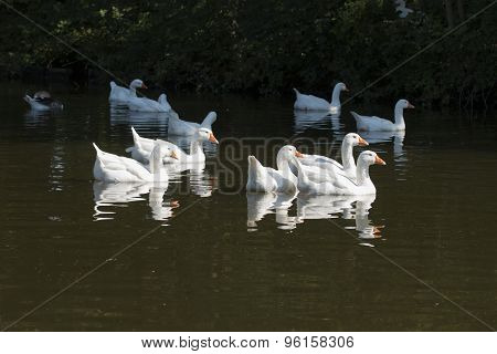 Flock Of White Wild Geese, Swimming