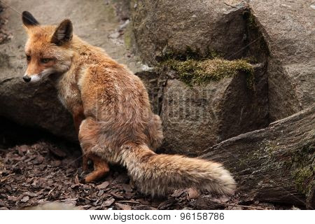 Red fox (Vulpes vulpes) defecating. Wild life animal.
