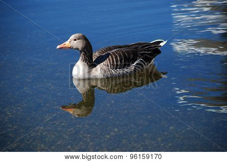 duck in cold water