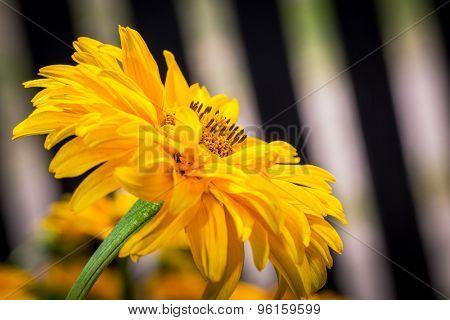 Yellow Gerber flower in the garden