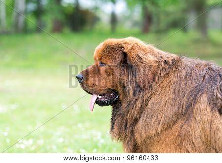 Brown newfoundland dog.