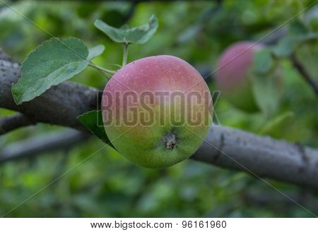 Immature Green Apple On A Branch. Gardens