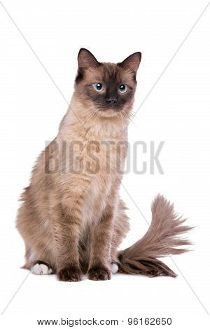 Brown Ragdoll Cat