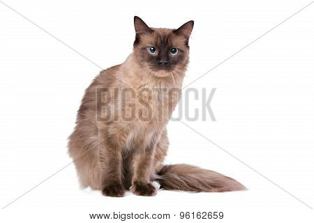 Brown Ragdoll Cat
