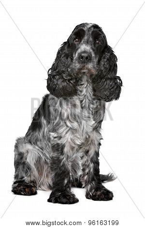 Dark Blue Roan Cocker Spaniel