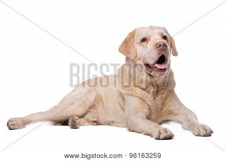 Beige Labrador Dog
