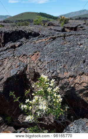 Lava Flow And Wild Flowers