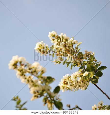 White Crepe Myrtle, Square