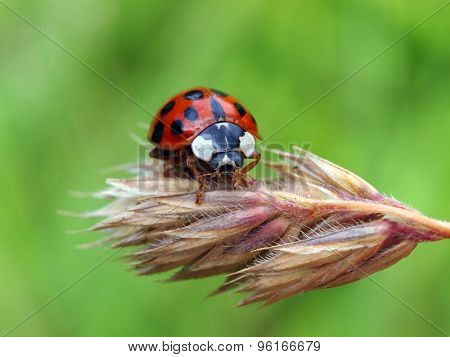 Close Up Of A Lady Bug