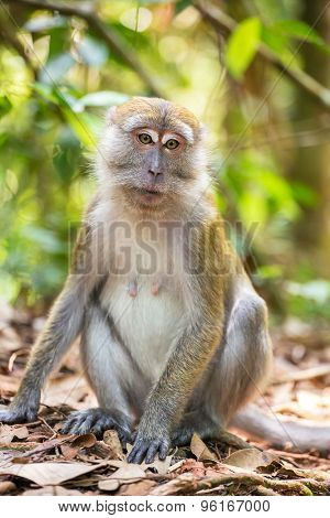 Macaque portrait in Gunung Leuser National Park, Sumatra, Indonesia