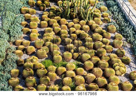 Many round cactuses. View of cactus garden