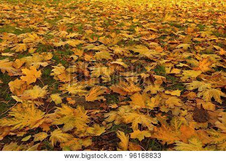 Fallen Leaves Of Maple. Golden Autumn