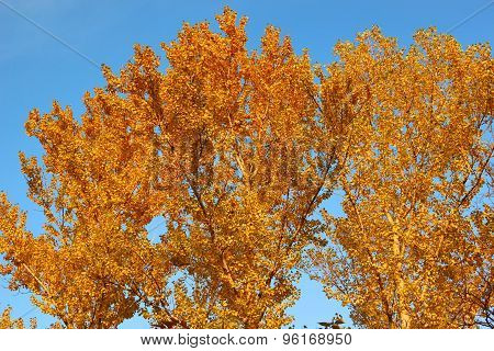 Aspen Crown In Golden Autumn Foliage