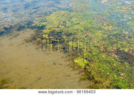Lake Washington Seaweed