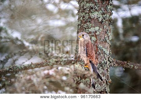 Common Kestrel Sitting In Winter On Coniferous Tree With Lichen