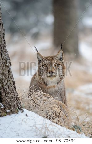 Eurasian Lynx Between Trees In Winter Time