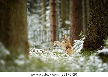 Eurasian Lynx Cub Shaking Down Snow From Paw